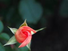 くるりくるっと。。。薔薇