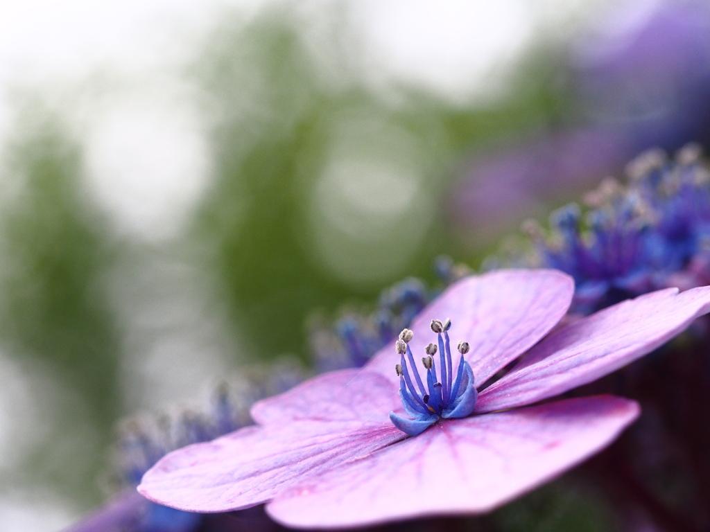 曇り空に紫陽花の咲く。