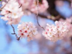 桜・ブルー