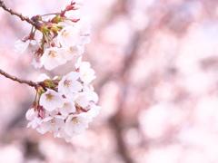 さくら咲きはじめ。。。
