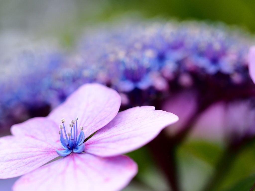 紫陽花 ☆ 妖艶に