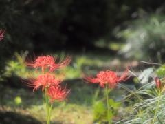 陽光に光る赤い華