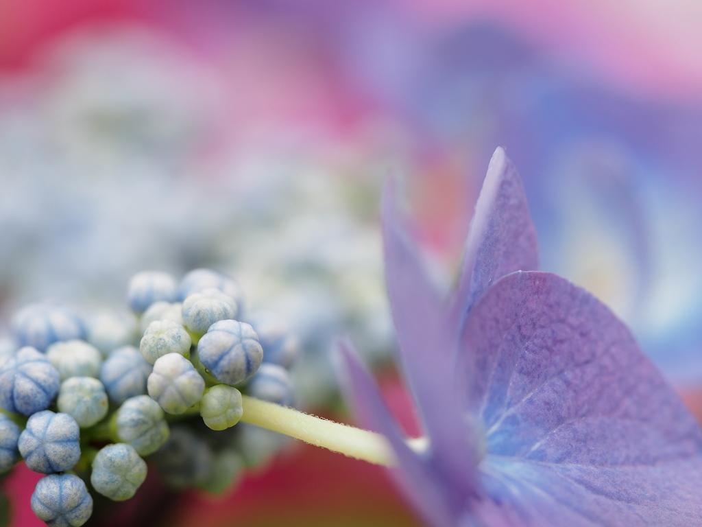 和風な紫陽花