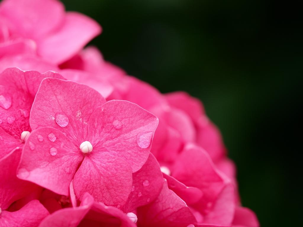 紫陽花に微笑んで。