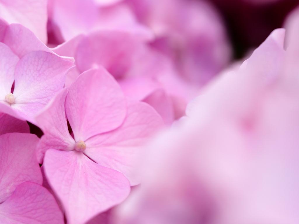 みつめて。。。紫陽花。