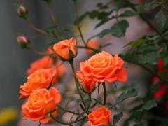 オレンジ色の薔薇たち