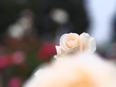 薔薇という名の奇跡。。。