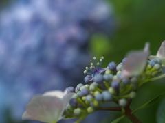 紫陽花を背に。。。