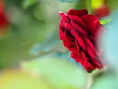 赤い薔薇のことば。。。
