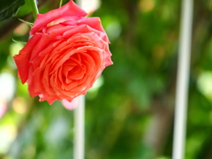 香る薔薇園
