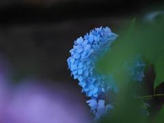 紫陽花の色。
