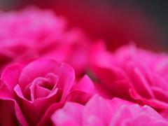 rose ☆    bed
