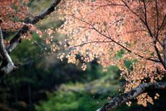 サクラ色の秋