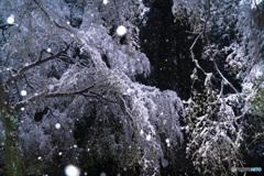 雪が 降っています