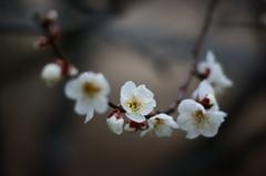 小春日和 梅の香りに誘われて ①