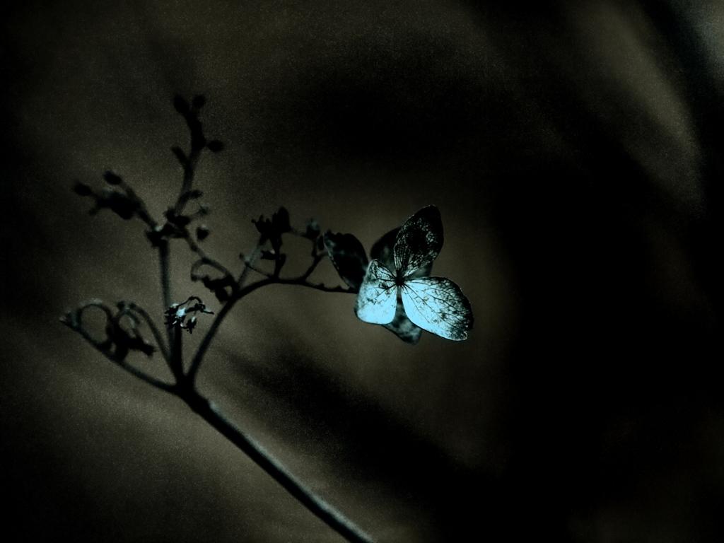 仄暗き執念の花