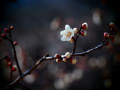 春の陽に梅香る ③