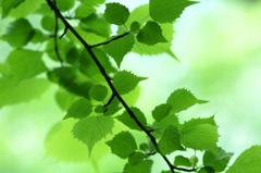 六月の葉っぱ  其の二