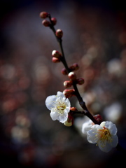 春の陽に梅香る ④