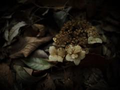 落ちたティアラ  -枯れ紫陽花-