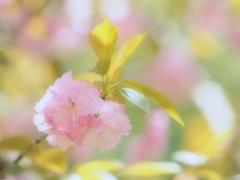 春色スケッチ ④ ~八重桜~