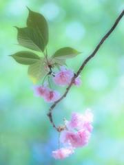 夢色八重桜~其の壱