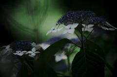 calm afternoon ~紫陽花~