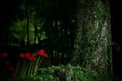 冥府  ~赤い花咲くその先~
