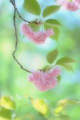 夢色八重桜 ~其の四~