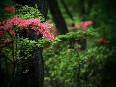 ヤマツツジの森  ①