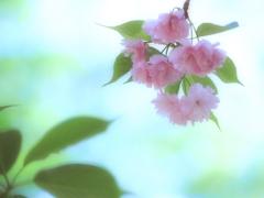 夢色八重桜 ~其の参~