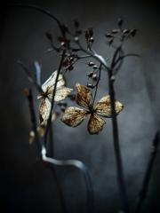 黄昏 -枯紫陽花-