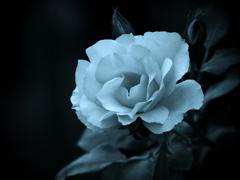 モノトーンの記憶 - 過ぎし日の薔薇 -  ⑦