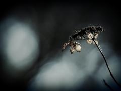 花の記憶 ~枯れ紫陽花~ 其の八