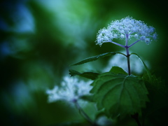 小さき者たちの囁き - 小紫陽花 -  ②