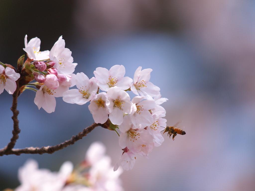 桜日和  ②