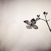 花の記憶 ~枯れ紫陽花~ 其の十五