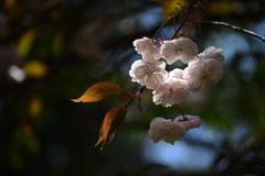 春色スケッチ ⑤ ~八重桜~