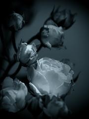 モノトーンの記憶  - 過ぎし日の薔薇 -  ③