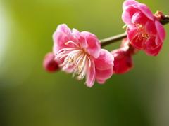 春の陽に梅香る ①