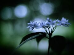 幻花 ~七段花~