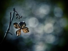 初夏の残像 ~枯れ紫陽花~