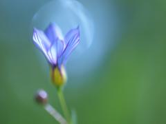 きらめき -庭石菖と光の玉-