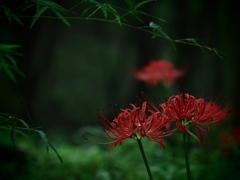 静の森の曼珠沙華