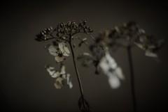 枯花の肖像