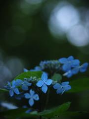 紫陽花BLUE