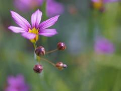 庭石菖  紫
