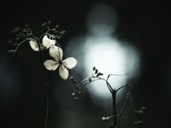 木洩れ日に光る ~枯れ紫陽花~