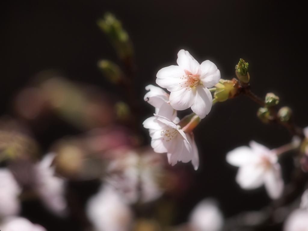 桜日和  ①