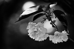 春色スケッチ ⑥ ~モノクロ八重桜~